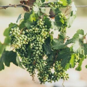 יין ישראלי איכותי